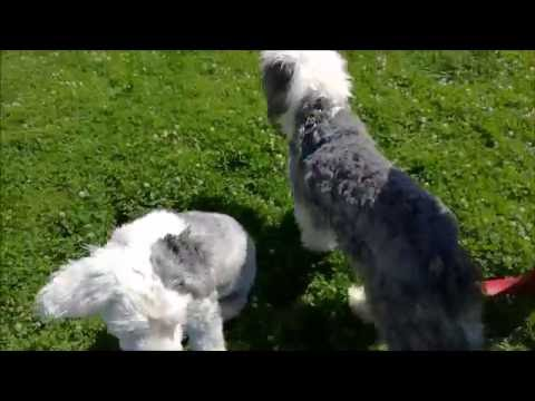 Dog Park July 2016 - Lucan - Ireland - Teddy & Panda - Old English Sheepdogs - Dulux