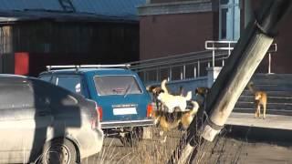 Стаи собак в Кирсе
