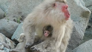 【SNOW MONKEY】 2016 Great Mom ☆Tokkuri☆ 3 ~Family~ 地獄谷野猿公苑