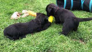 Skye terrier puppies  grey boys. Litter C