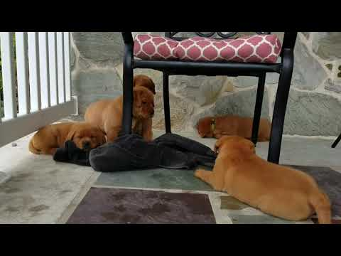 Fox Red Lab Puppies For Sale