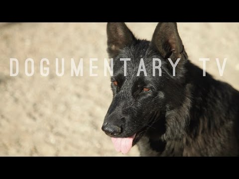WAR CRY GERMAN SHEPHERD DOGS FROM IPO RING TO BRIGHT LIGHTS OF HOLLYWOOD