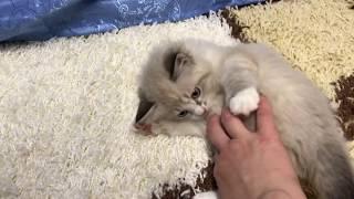 Ангелочек невская маскарадная котенок
