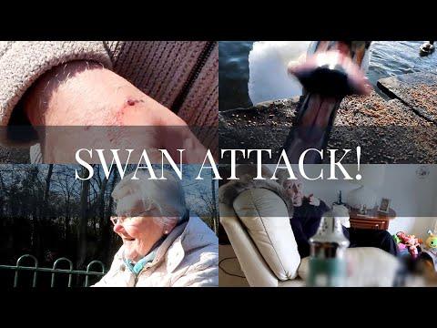 CRAZY SWAN ATTACK, A SAD STORY & A FUNNY SHAPED SALT SHAKER!   SammyBird