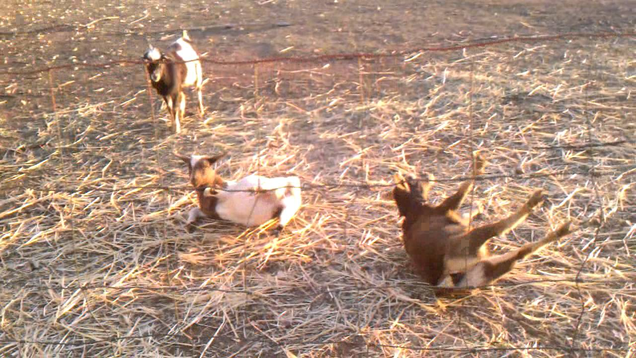 Funny As Hell Our New Fainting Goats Youtube