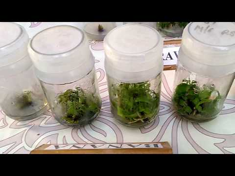 How to do Plant Tissue Culture in Lab (Hindi) (1080p HD
