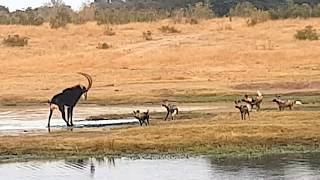 Painted wild dogs attacking a Sable antelope