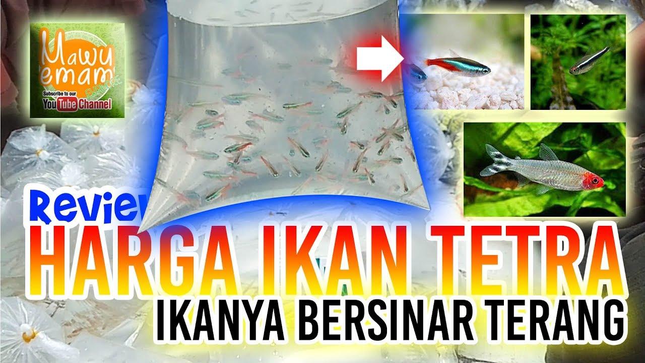 Harga Ikan Hias Tetra Ada Yg Black Neon Juga Loh Murah Murah Youtube
