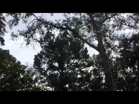 Joel's lawn and tree service Tyler Texas cutting a rotten oak tree  (hondureños )