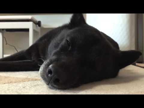 甲斐犬ホットカーペット