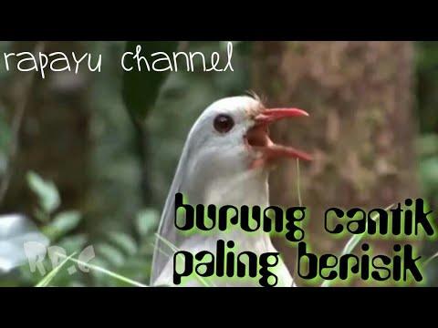 Burung Ini Layaknya Wanita Cantik Yang Banyak Bicara Burung Kagou Youtube