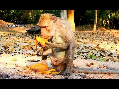 Poor old skinny man monkey try eat more fruit for healthy,His health condition a bit better