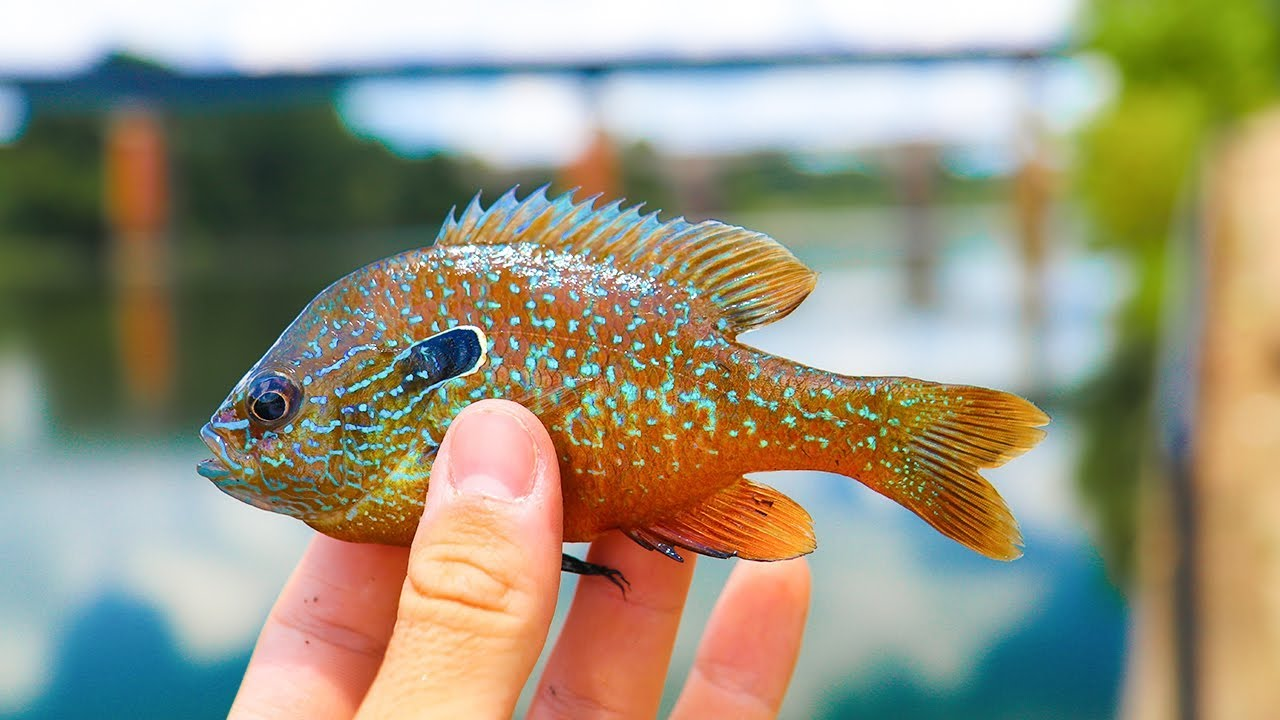 Micro lure challenge for tropical fish exotic youtube for Exotic pet fish