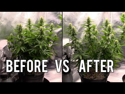 Lollipopping, Defoliating & Topping Cannabis Plants!