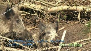 Wild boar - Sus scrofa - Everzijn, Wild zwijn #01