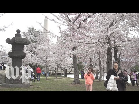 This is the slow-mo cherry blossom video you didn't know you needed