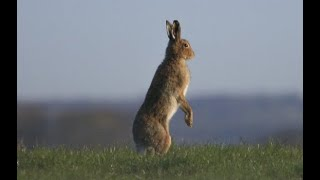 The Irish Hare