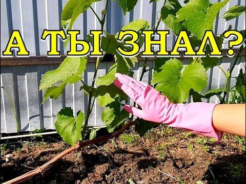 Как формировать виноградный куст видео