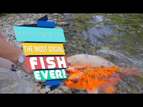 OUTDOOR DREAMS: Most Social Fish EVER! In West Chester, PA