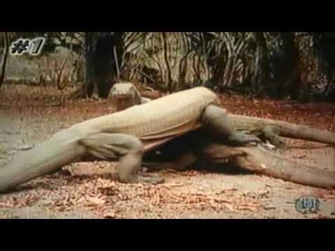 Crocodilo da Terra, Dragão de Komodo, o Lagarto Gigante da Indonesia, Animais em Extinção.