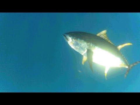 Puerto Vallarta Pesca Atun Amarillo Www.puertovallartafish.com