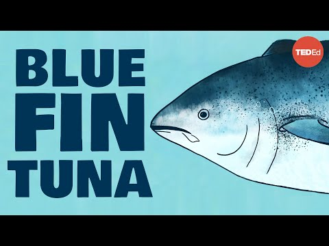 Video image: Meet the bluefin tuna, the toughest fish in the sea - Grantly Galland and Raiana McKinney