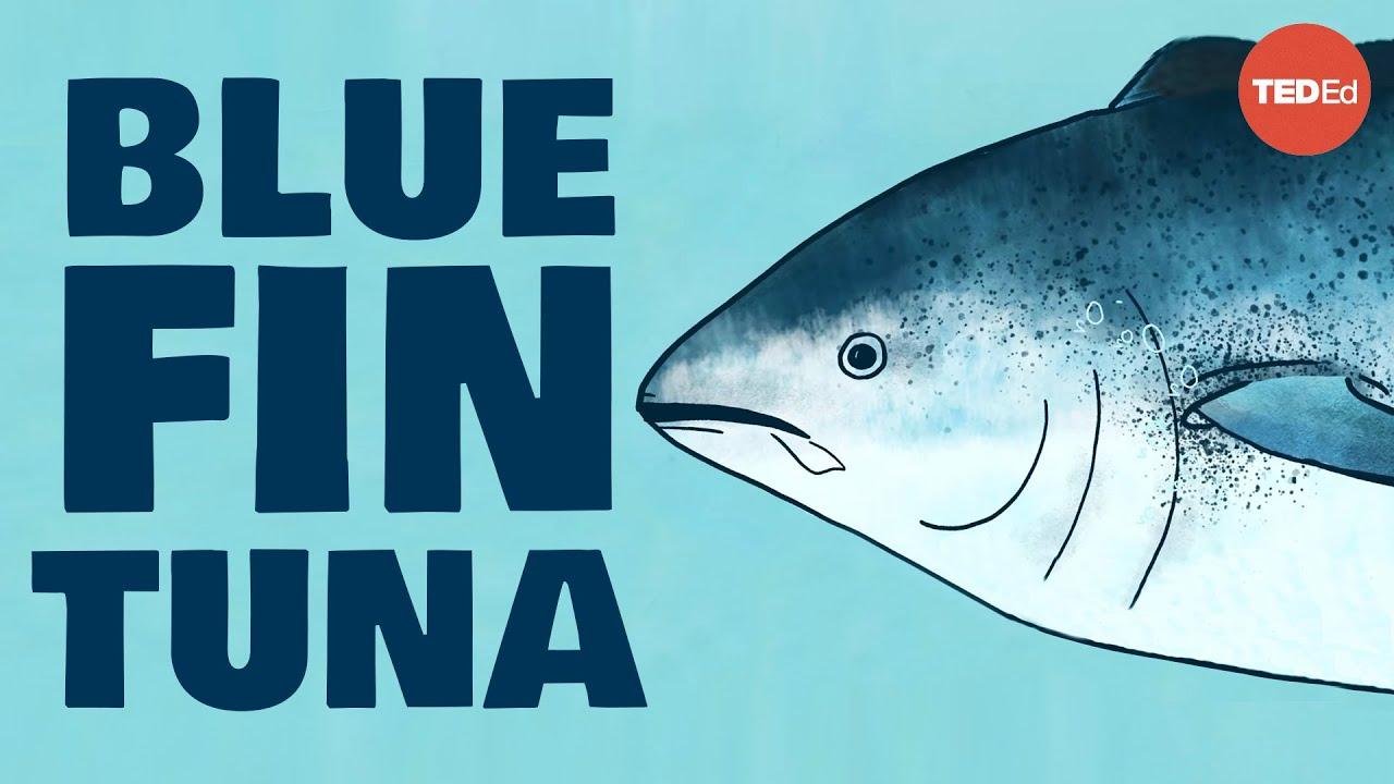 Meet the bluefin tuna, the toughest fish in the sea - Grantly Galland and Raiana McKinney