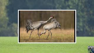 Голоса птиц : серый журавль.