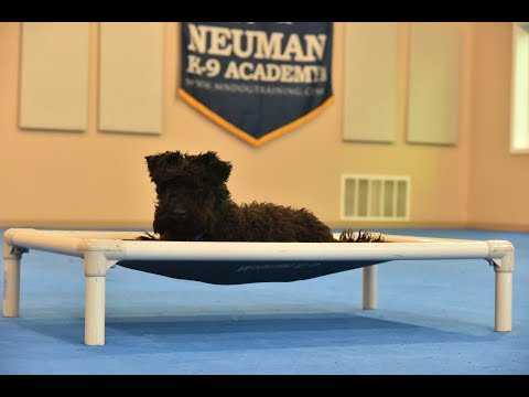Bentley (Kerry Blue Terrier) Puppy Camp Dog Training Video