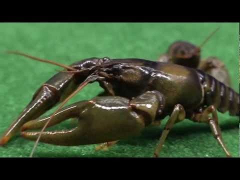 WDS - Rusty CrayFish Of The Mississippi River