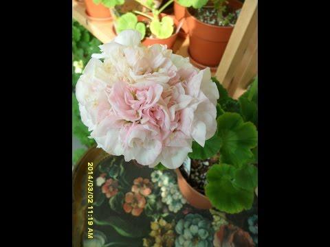 Pelargonium  Carol Gibbons