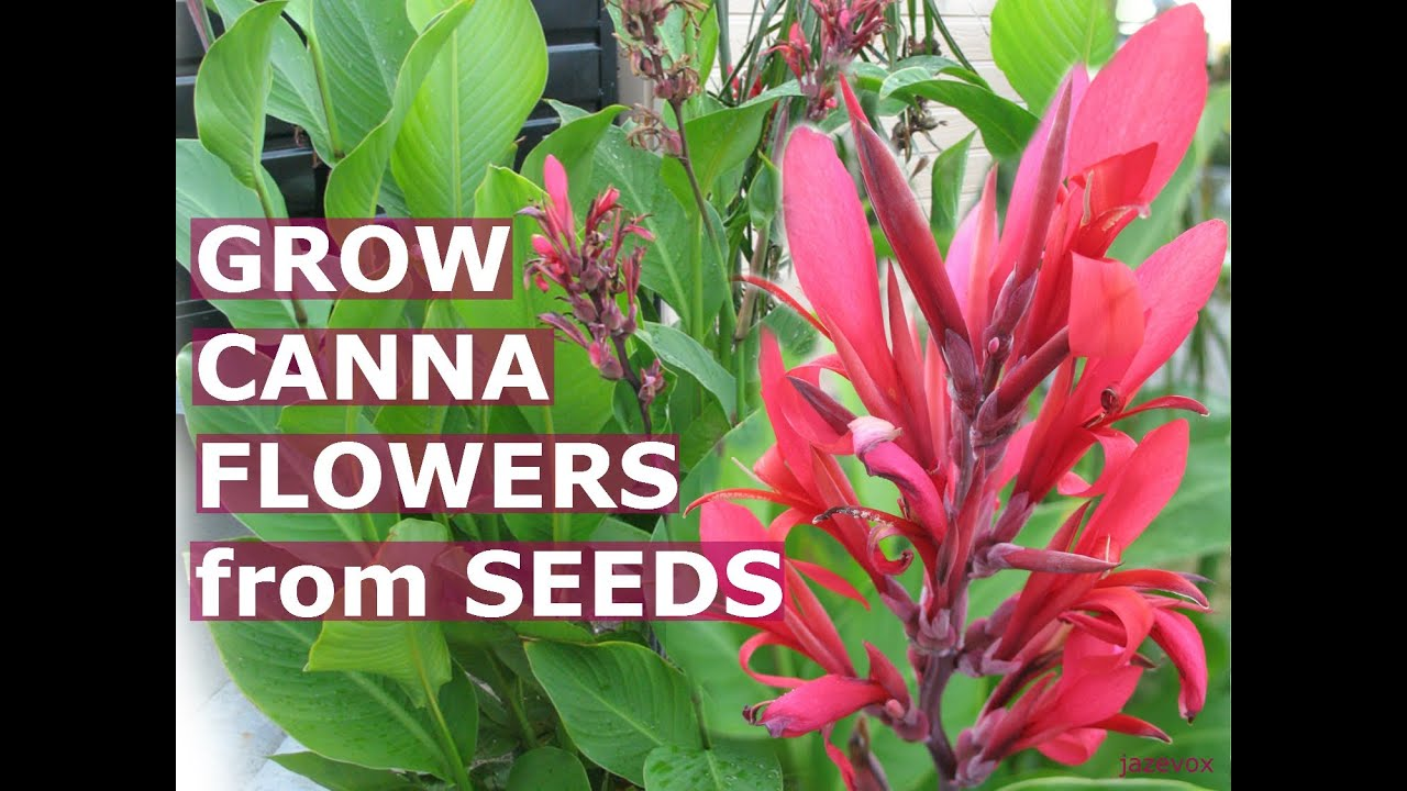 Growing canna tropical flowers how to grow calla lily lilies flower growing canna tropical flowers how to grow calla lily lilies flower from seeds backyard gardening youtube izmirmasajfo Images