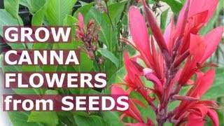 Growing Canna Tropical Flowers -How To Grow Calla Lily Lilies Flower From Seeds -Backyard Gardening