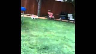 Lemon Beagle Zoomies