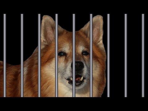 Criminal Dog - part 3/3 | Australian Shepherd & Icelandic Sheepdog