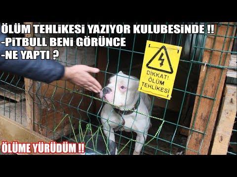 ÖLÜM TEHLİKESİ YAZIYORDU !! ( PİTBULL'A NASIL YAKLAŞTIM ) Köpek saldırısından Koruyacak birkaç bilgi