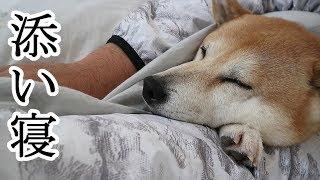 柴犬小春 ホカホカの愛犬の添い寝が丁度いい季節 小春時々白目w