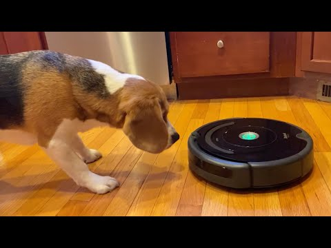 Cute beagle alarmed by Roomba; rescues his toys