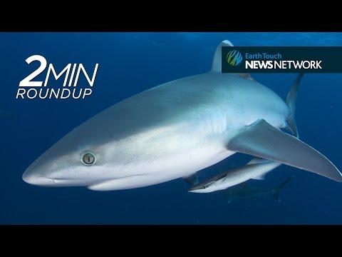 Dragon ants, rhino rescues & a whale-sized shark feast