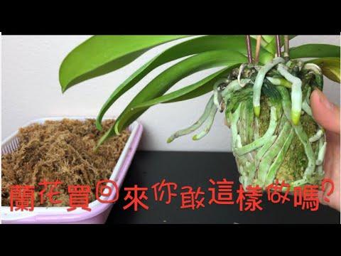蘭花買回來應該這樣做?很原始的方法 How to care for store bought orchids