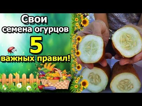 Как правильно собрать семена огурцов с огорода