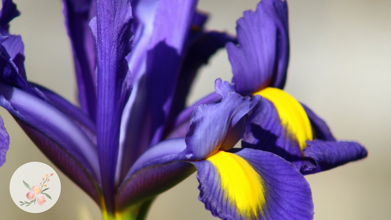 Dutch Iris Changing Colors Growing Flowers Cut Flower Farm