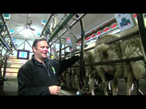 Sheep Dairy