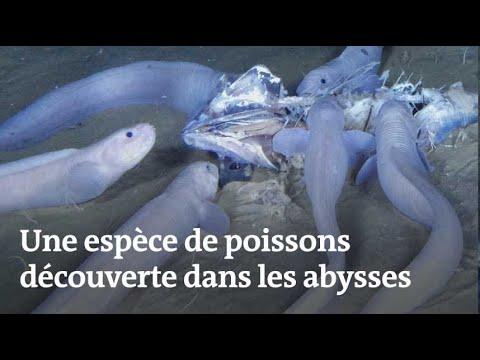 Des poissons-limaces découverts dans les abysses
