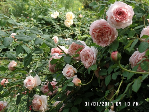 Abraham Darby - English Rose Climbers  Has Beautiful Blooms!