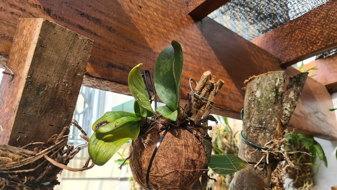 Plantando phalaenopsis