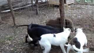 Staffordshire Bull Terrier (stafor Zire Bull Terrier)