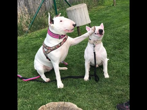 TRY NOT TO LAUGH Or GRIN: Funny And Cute Bull Terrier Videos Compilation 2017