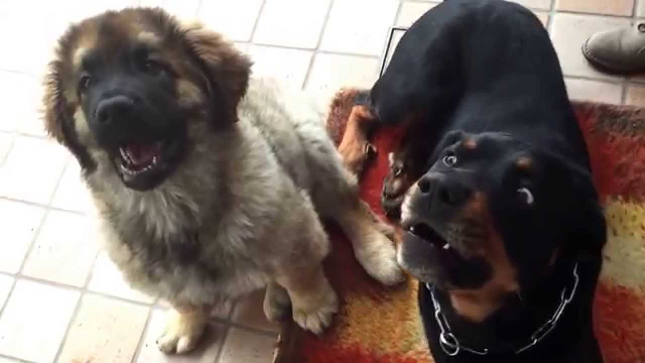 Rottweiler e Leonberger Attack - YouTube Leonberger Attack