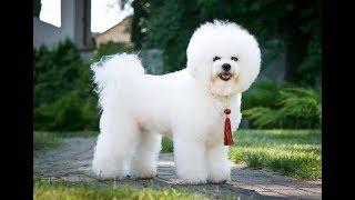 "Хочу собаку. Бишон фризе | Телеканал ""Мама"""